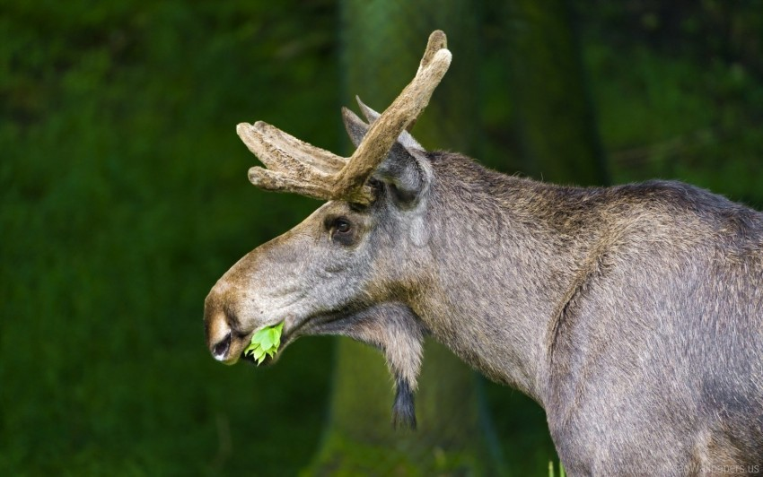 free PNG background, grass, moose, nature wallpaper background best stock photos PNG images transparent