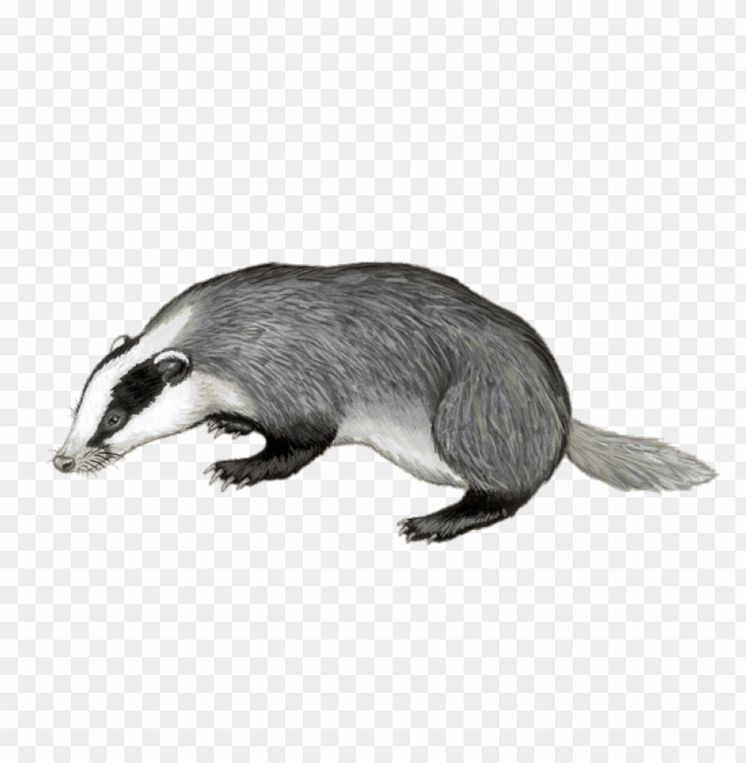 free PNG Download badger illustration png images background PNG images transparent