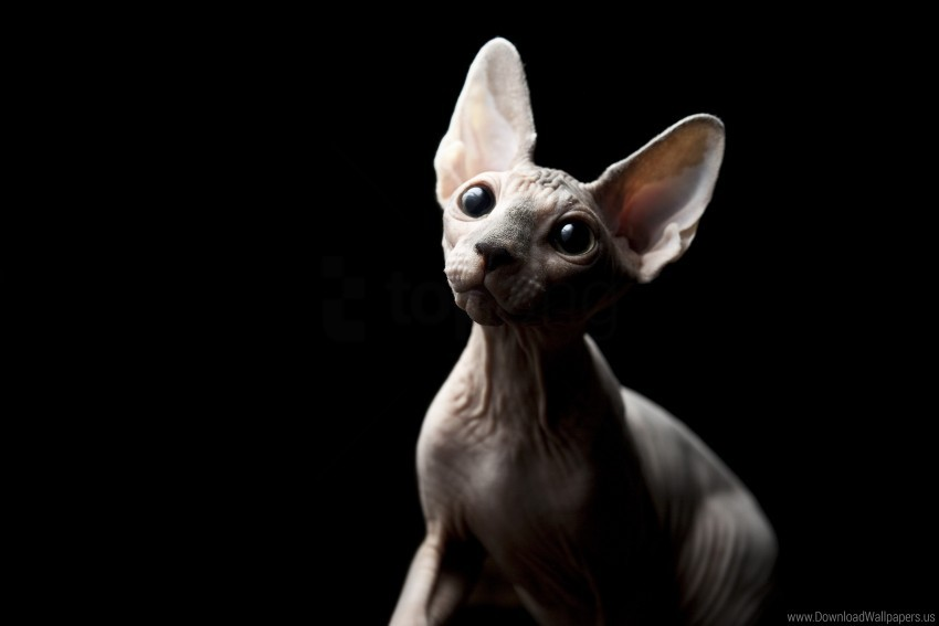 free PNG bald, eyes, eyes, sphynx cat wallpaper background best stock photos PNG images transparent
