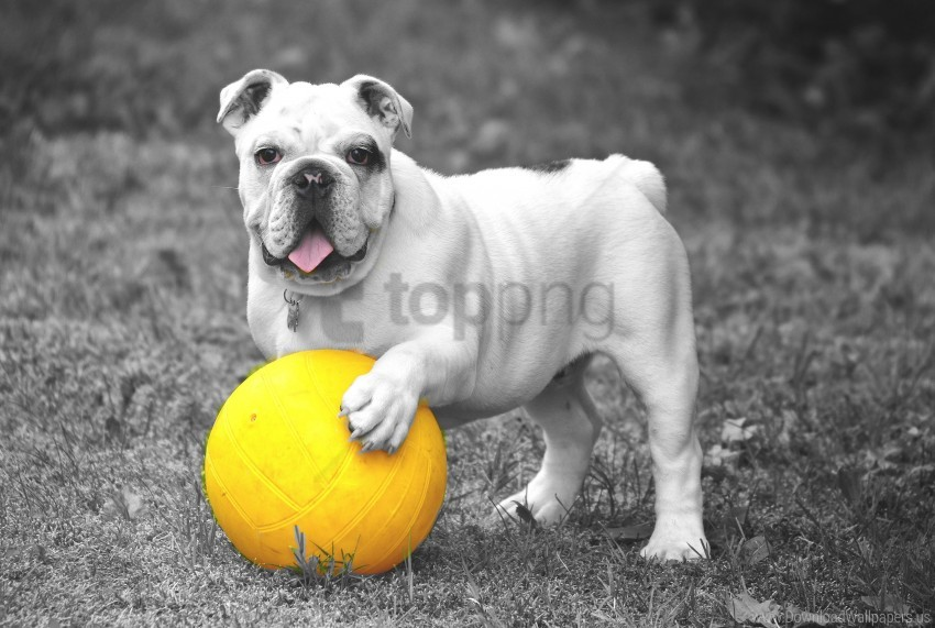 free PNG ball, bulldog, bw, dog, grass wallpaper background best stock photos PNG images transparent