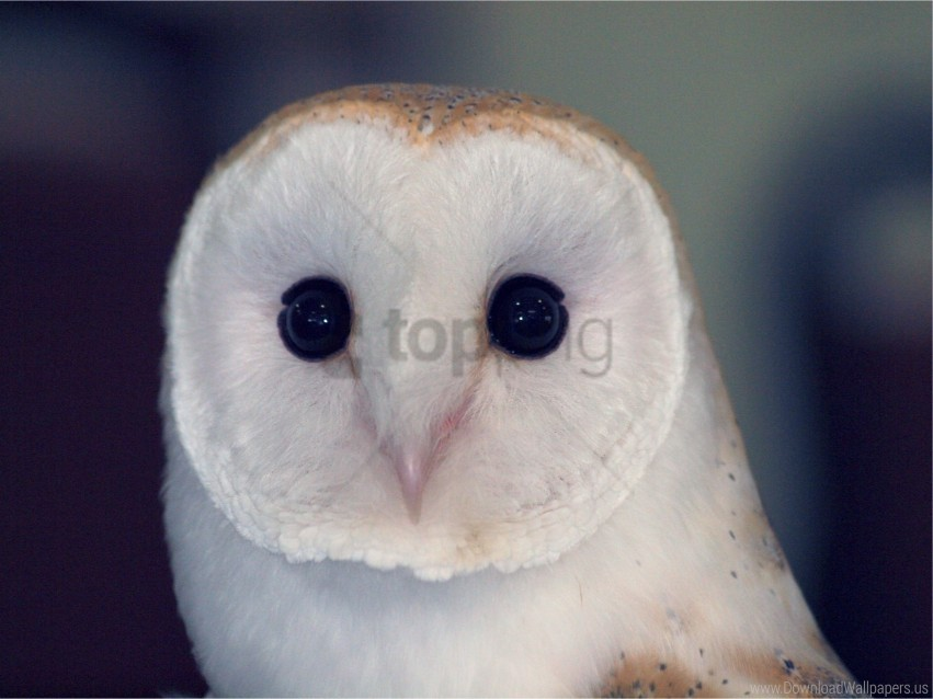 free PNG barn owl, bird, color, dangerous, eyes, owl, predator wallpaper background best stock photos PNG images transparent