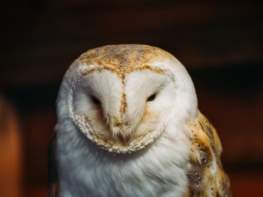 free PNG barn owl, owl, bird, predator, white background PNG images transparent