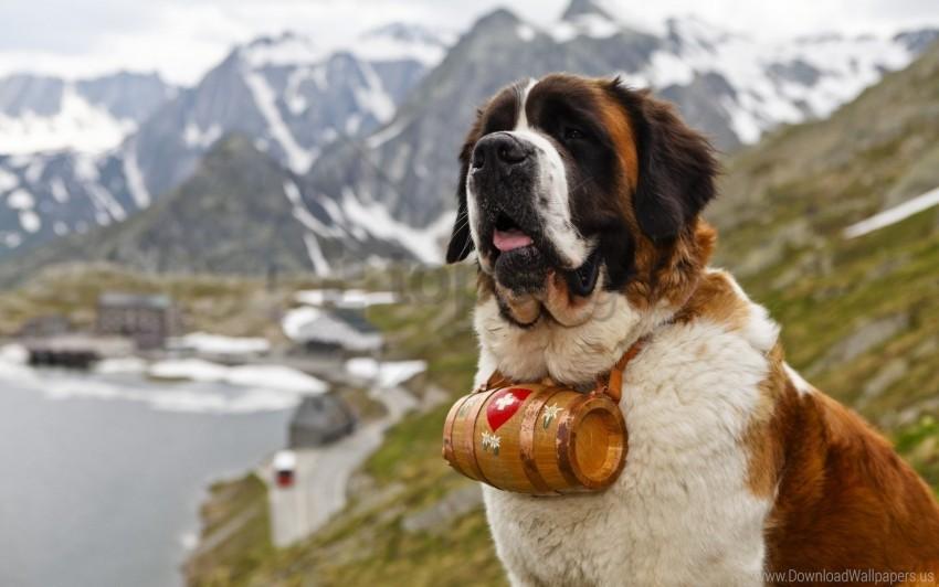 free PNG barrel, dog, muzzle, saint bernard wallpaper background best stock photos PNG images transparent