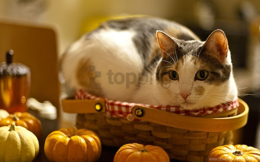 free PNG basket, cat, curiosity, lying, pumpkin wallpaper background best stock photos PNG images transparent