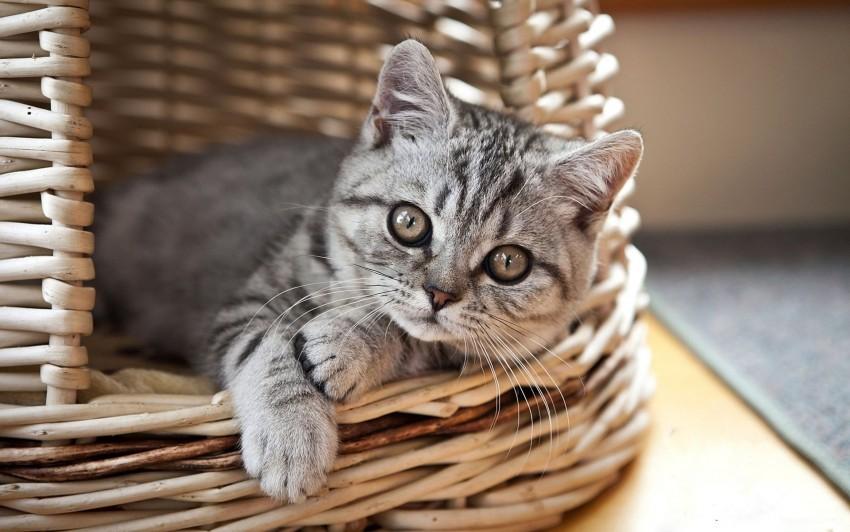 free PNG basket, cat, kitten, lie, look, striped wallpaper background best stock photos PNG images transparent