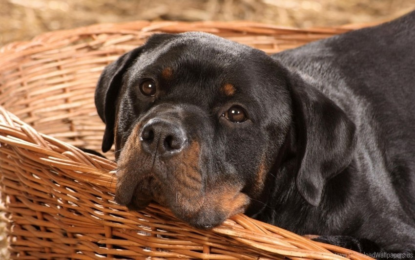Basket Dog Muzzle Playful Rottweiler Wallpaper Background Best Stock Photos Toppng