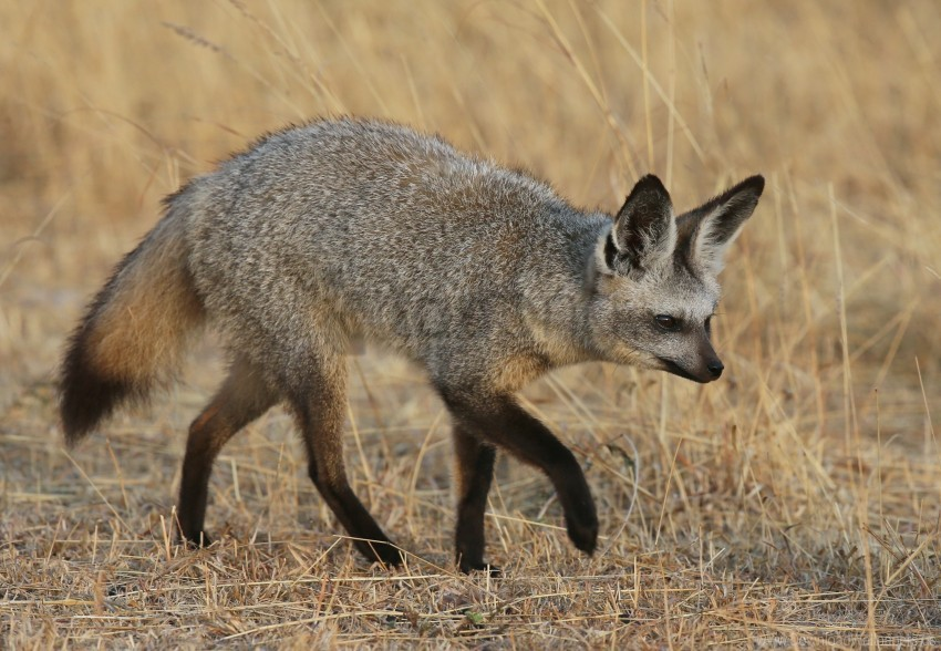 free PNG bat-eared fox, fox, walk wallpaper background best stock photos PNG images transparent
