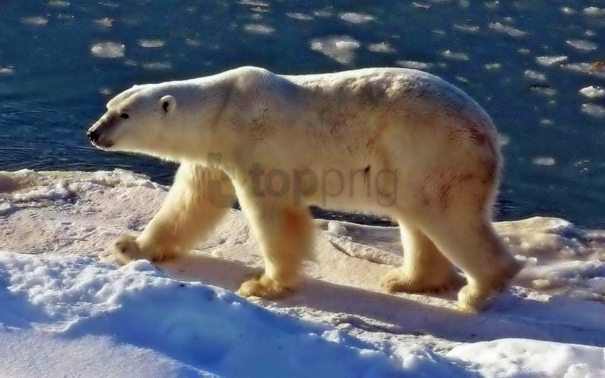 free PNG beach, bear, polar bear, sea, snow, walk wallpaper background best stock photos PNG images transparent