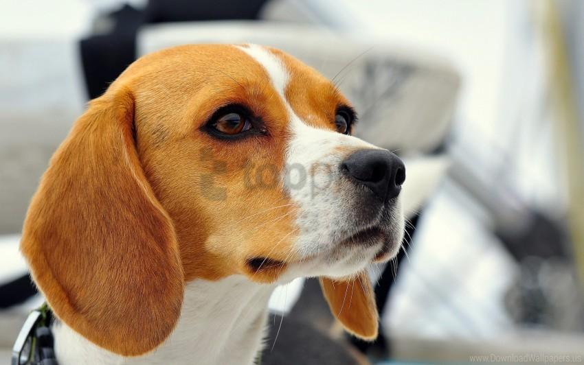 free PNG beagle, dog, ears, muzzle, puppy wallpaper background best stock photos PNG images transparent