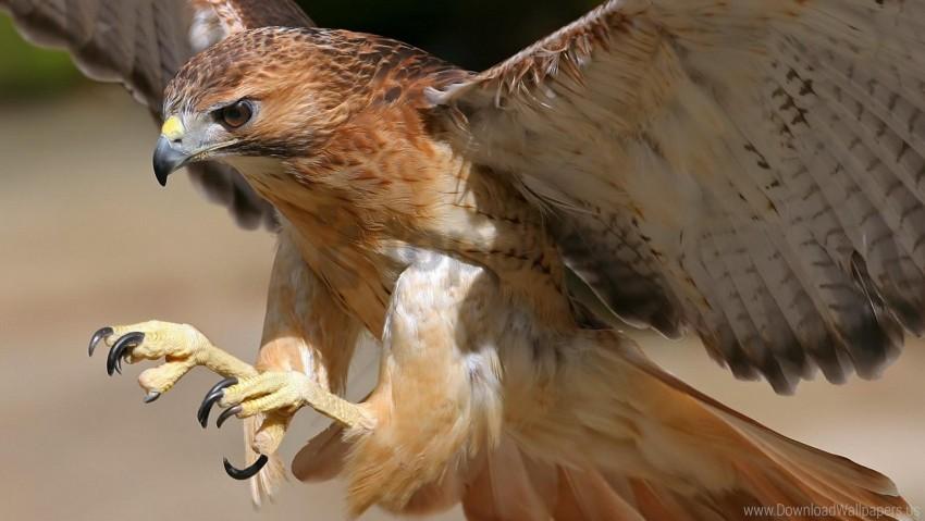 free PNG beak, bird, eagle, flight, predator, wings wallpaper background best stock photos PNG images transparent
