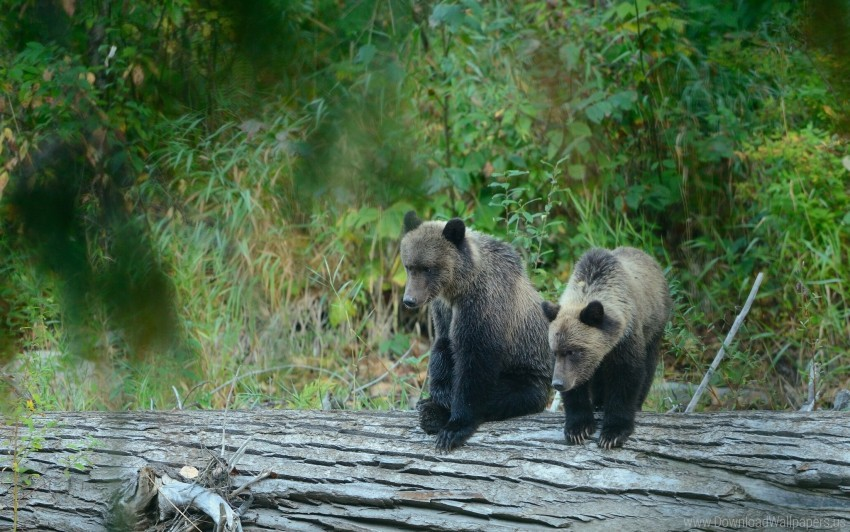 free PNG bear, bears, cub, grizzly wallpaper background best stock photos PNG images transparent
