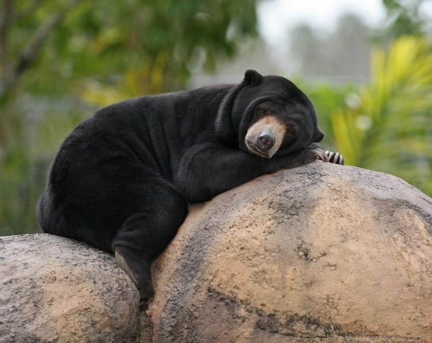free PNG bear, biruang, lying, malay bear, stone wallpaper background best stock photos PNG images transparent