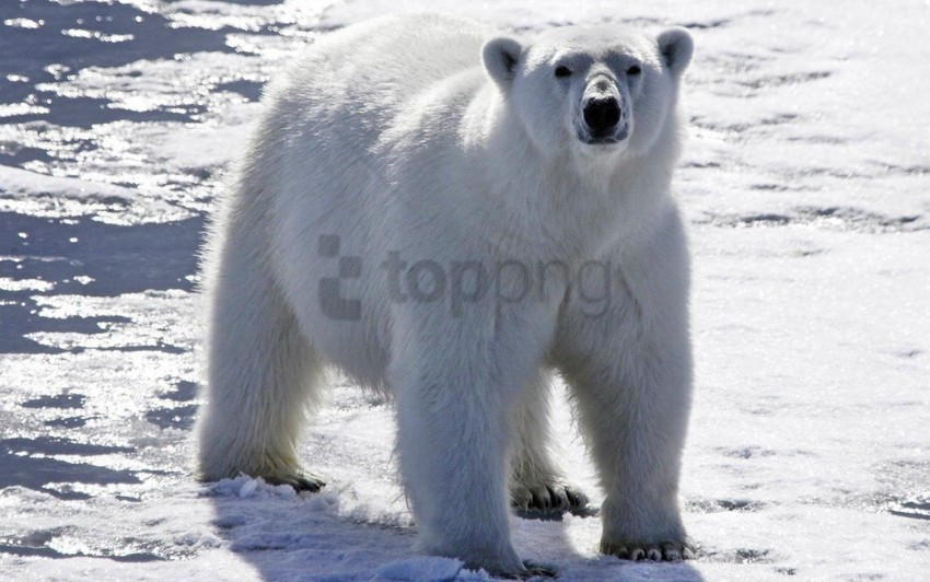 free PNG bear, bright, light, polar bear, snow wallpaper background best stock photos PNG images transparent
