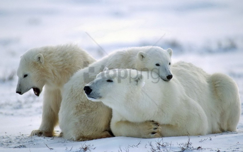 free PNG bear, care, family, polar bear, snow wallpaper background best stock photos PNG images transparent