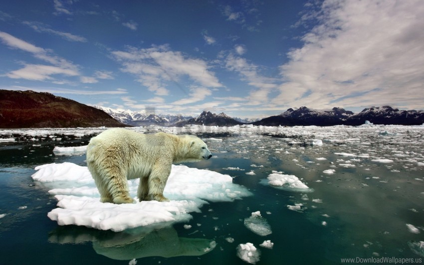 free PNG bear, cold, ice, polar bear, snow wallpaper background best stock photos PNG images transparent