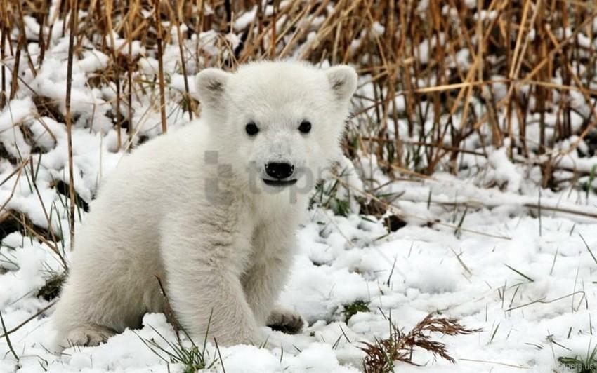 free PNG bear, cub, fear, grass, polar bear, snow wallpaper background best stock photos PNG images transparent