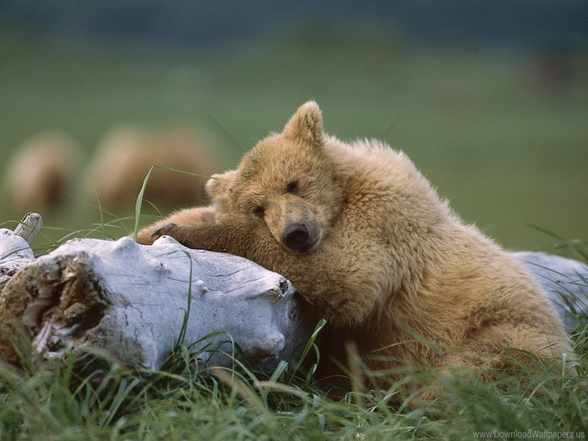 free PNG bear, cub, lying, timber wallpaper background best stock photos PNG images transparent