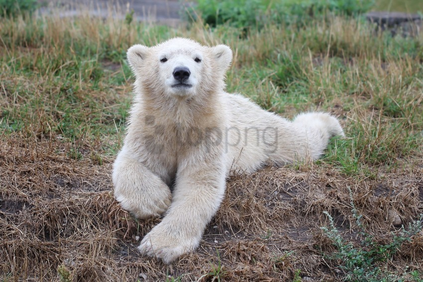 free PNG bear, cub, polar bear wallpaper background best stock photos PNG images transparent