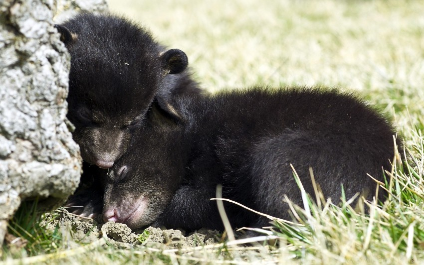 free PNG bear cubs, fear, grizzly, hide, sleep wallpaper background best stock photos PNG images transparent