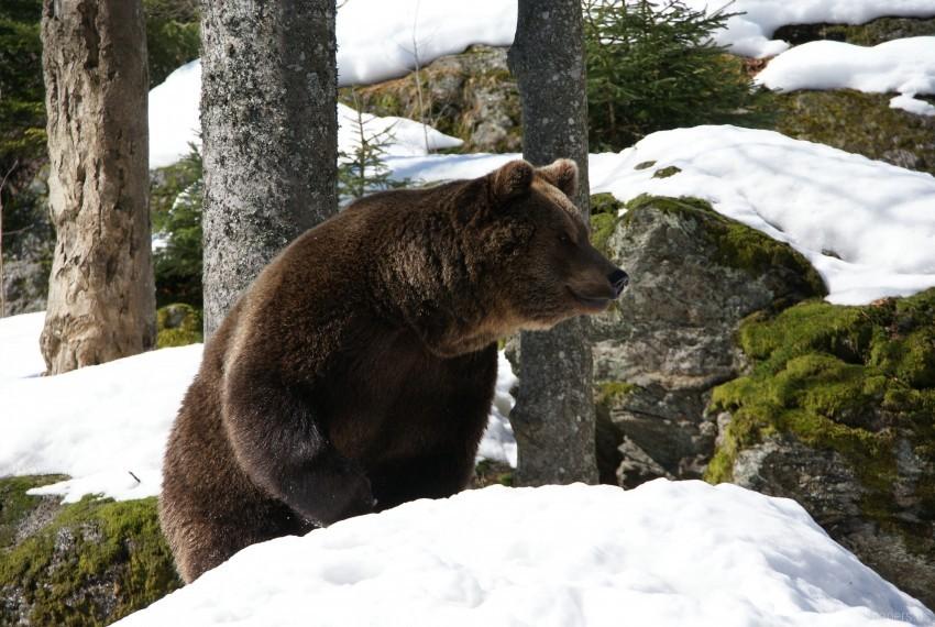 free PNG bear, eurasian bear, snow, trees, winter wallpaper background best stock photos PNG images transparent