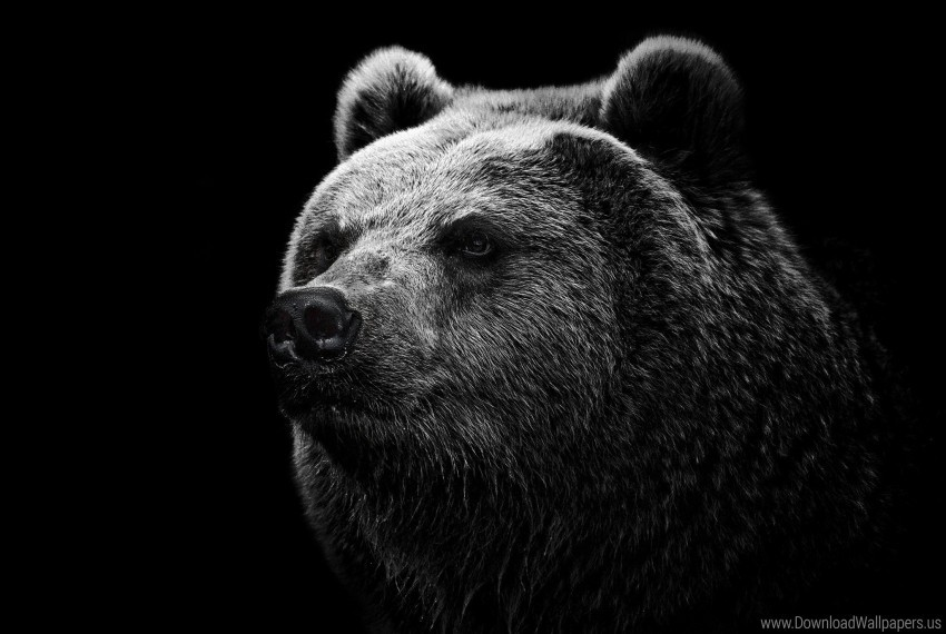 free PNG bear, eyes, grizzly bear, nose wallpaper background best stock photos PNG images transparent