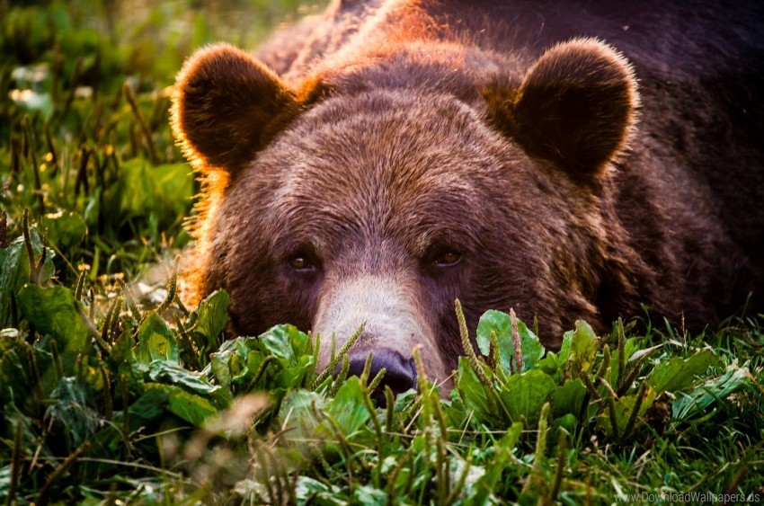 free PNG bear, face, grass, grizzly, look wallpaper background best stock photos PNG images transparent