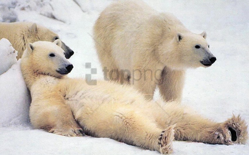 free PNG bear, family, fur, polar bear, snow, waiting wallpaper background best stock photos PNG images transparent