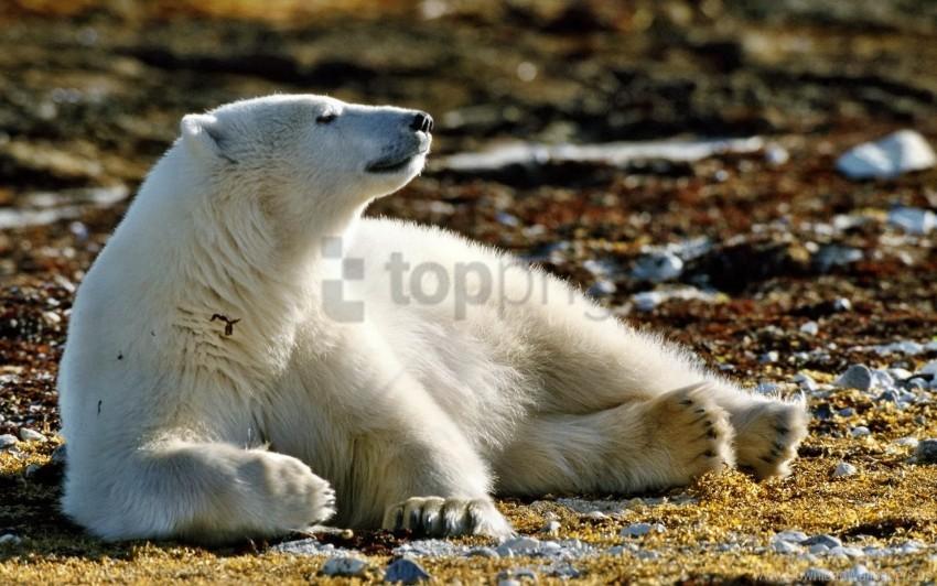 free PNG bear, grass, leaves, polar bear, snow, walk wallpaper background best stock photos PNG images transparent