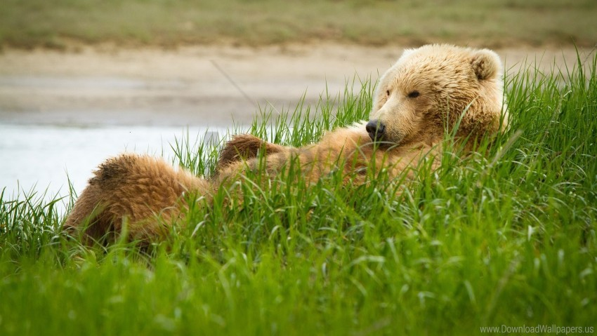 free PNG bear, grass, lie, thick wallpaper background best stock photos PNG images transparent