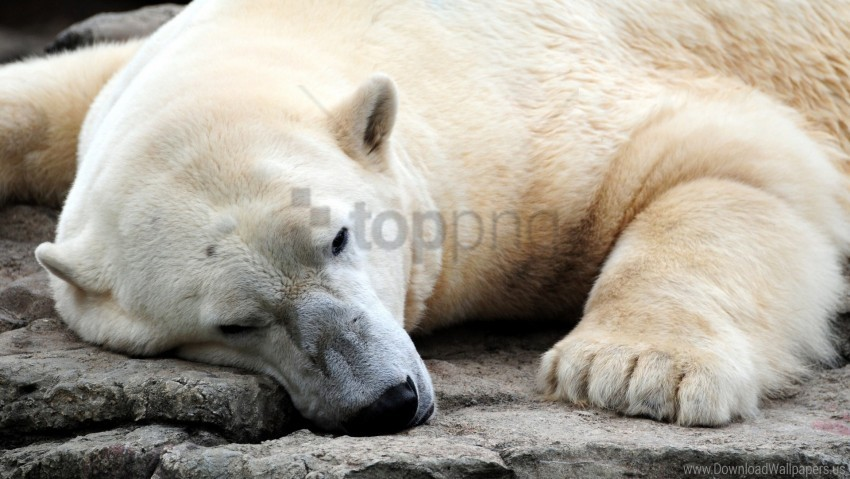 free PNG bear, large, legs, polar bear, sleeping wallpaper background best stock photos PNG images transparent