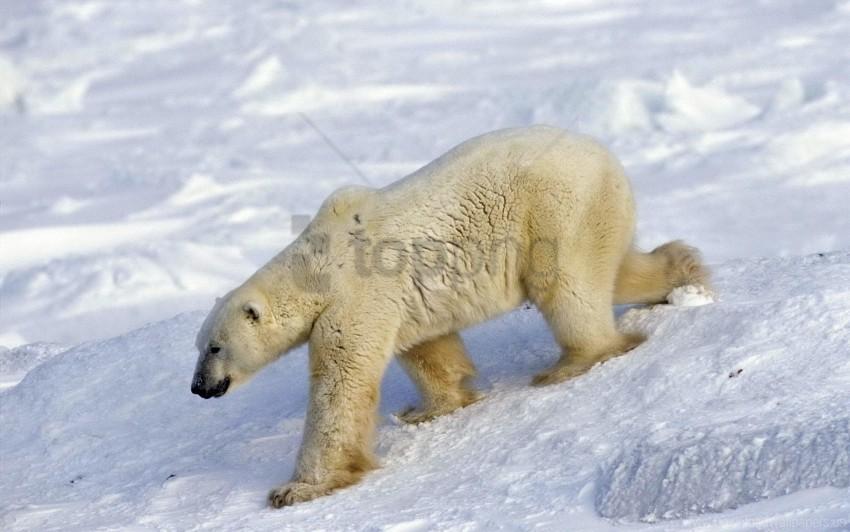 free PNG bear, large, polar bear, snow, walk wallpaper background best stock photos PNG images transparent