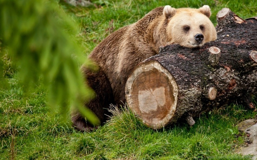 free PNG bear, lying, rest, timber wallpaper background best stock photos PNG images transparent