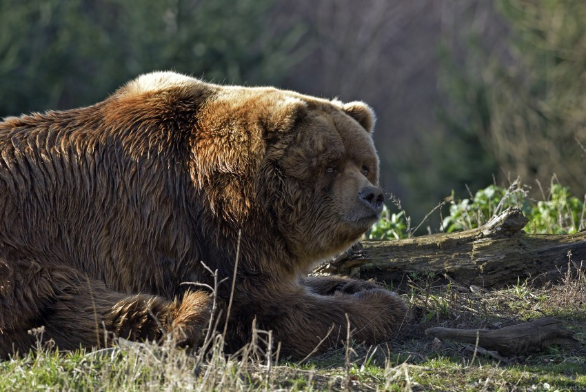 free PNG bear, lying, thick, timber wallpaper background best stock photos PNG images transparent