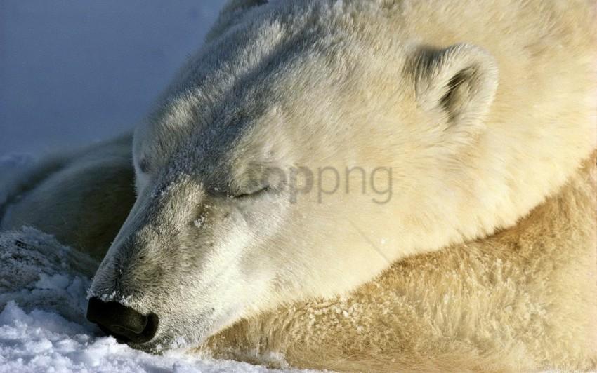 free PNG bear, mug, olar bear, sleep, snow wallpaper background best stock photos PNG images transparent