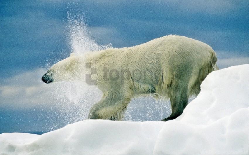 free PNG bear, playful, polar bear, snow, snowfall, walk wallpaper background best stock photos PNG images transparent