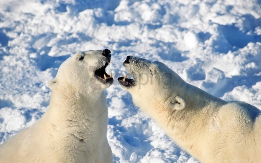 free PNG bear, playful, polar bear, snow, steam wallpaper background best stock photos PNG images transparent