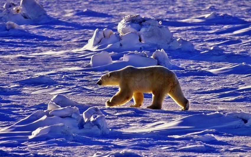 free PNG bear, polar bear, shadow, snow, walk wallpaper background best stock photos PNG images transparent