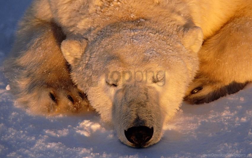 free PNG bear, polar bear, sleeping, snout, snow wallpaper background best stock photos PNG images transparent
