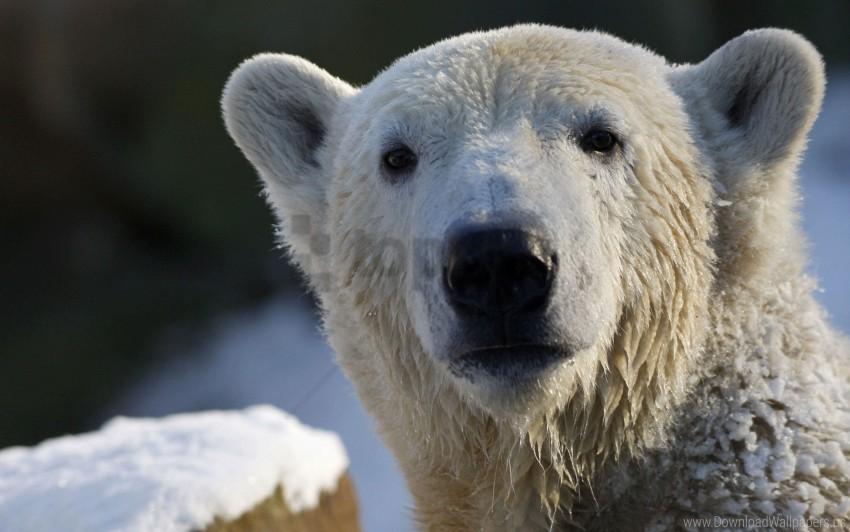 free PNG bear, polar bear, snout, snow, wet wallpaper background best stock photos PNG images transparent