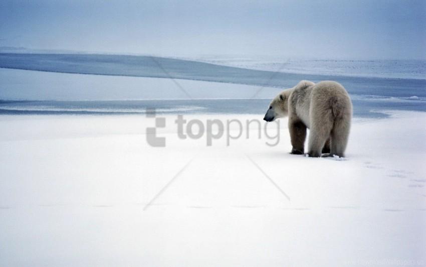 free PNG bear, polar bear, snow, walk wallpaper background best stock photos PNG images transparent