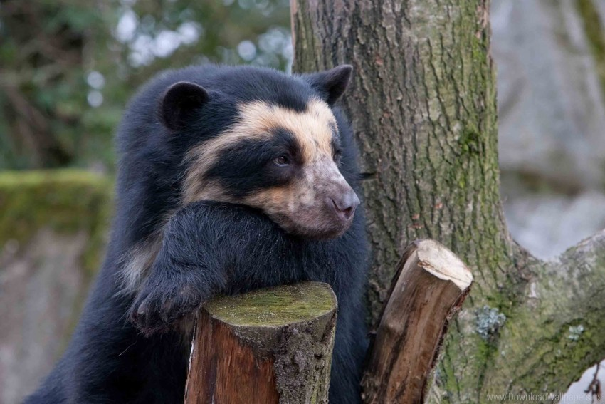 free PNG bear, sadness, spectacled bear, wood wallpaper background best stock photos PNG images transparent