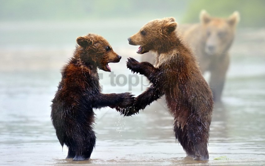 free PNG bears, cubs, mist, water wallpaper background best stock photos PNG images transparent