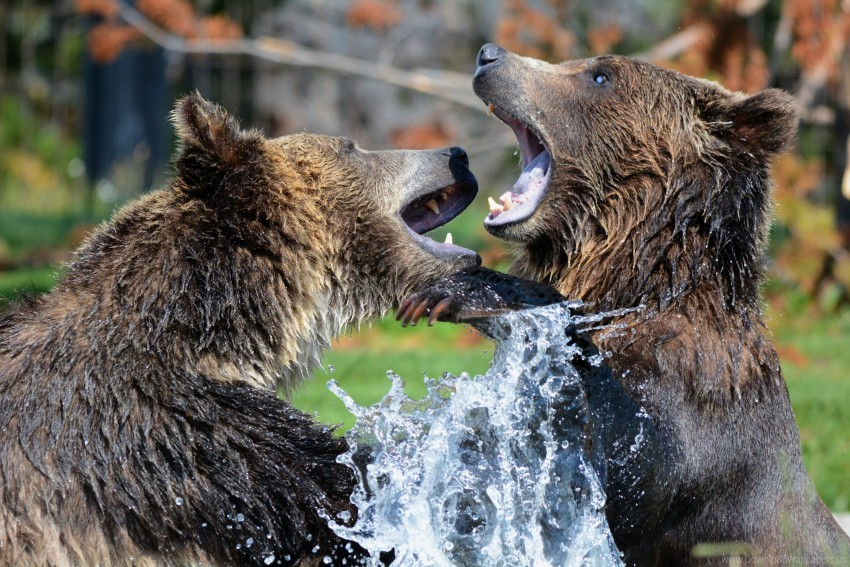 free PNG bears, grizzly bear, sparring, spray wallpaper background best stock photos PNG images transparent