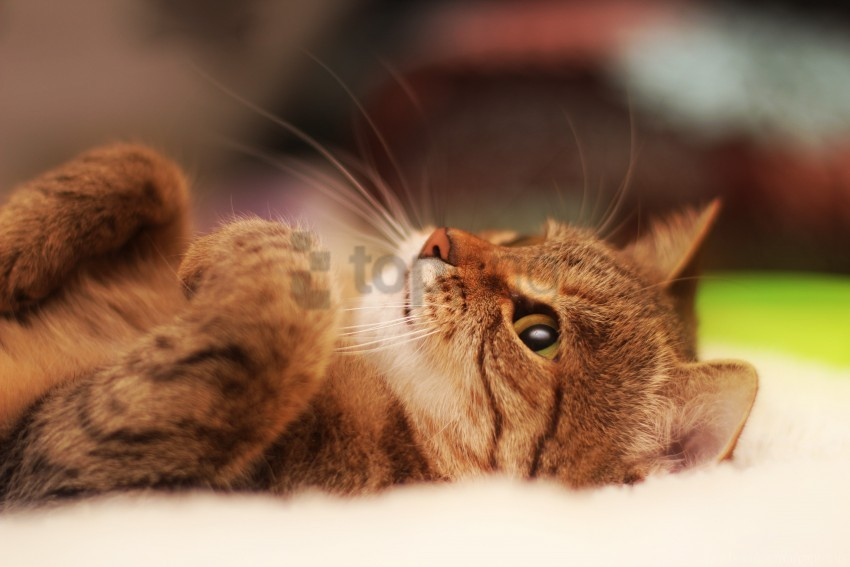 free PNG beautiful cat, cat, cool cat, lying wallpaper background best stock photos PNG images transparent