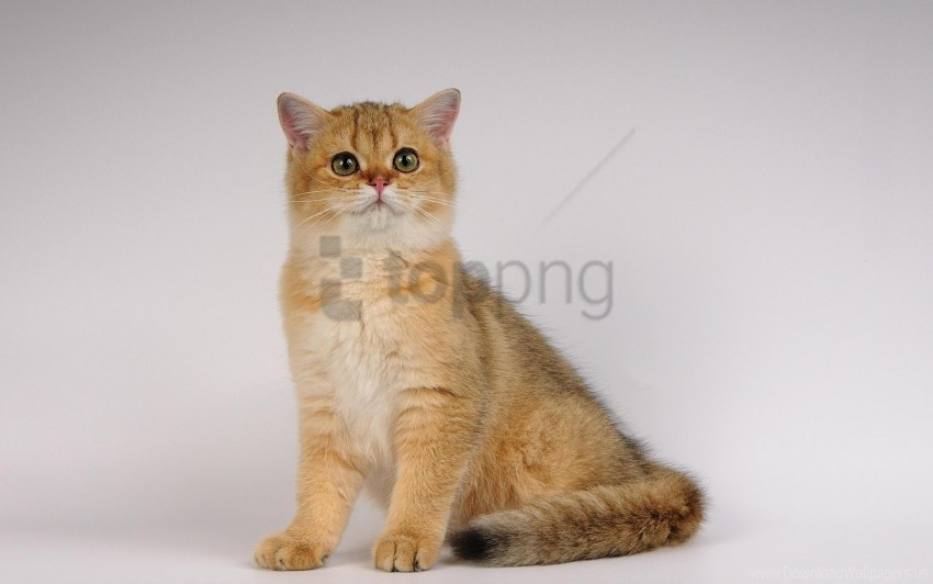 free PNG beautiful, cat, sit, thick wallpaper background best stock photos PNG images transparent