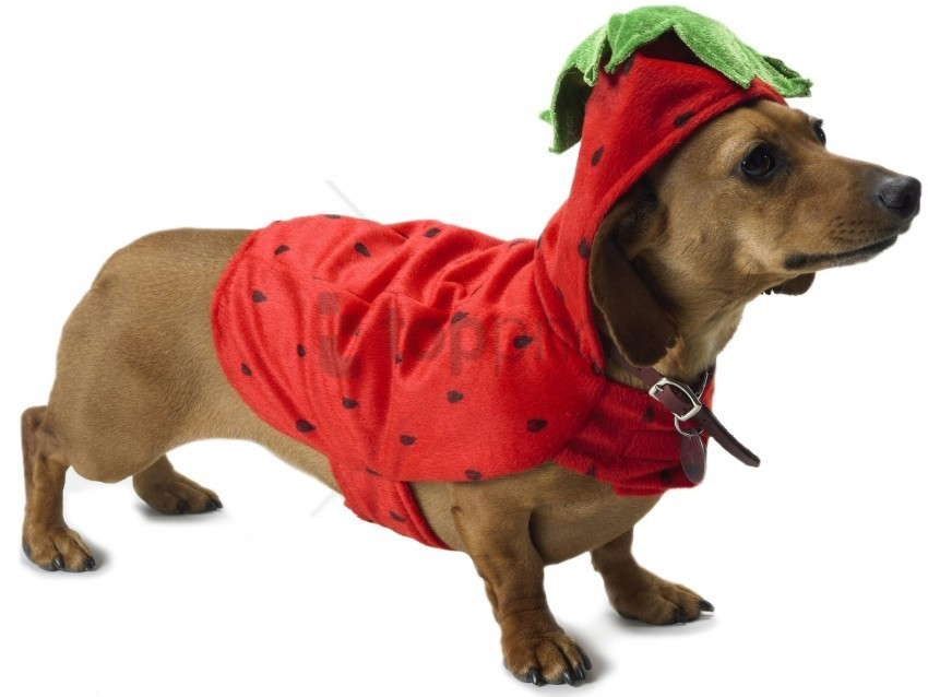 free PNG beautiful, costume, dachshund, dog wallpaper background best stock photos PNG images transparent