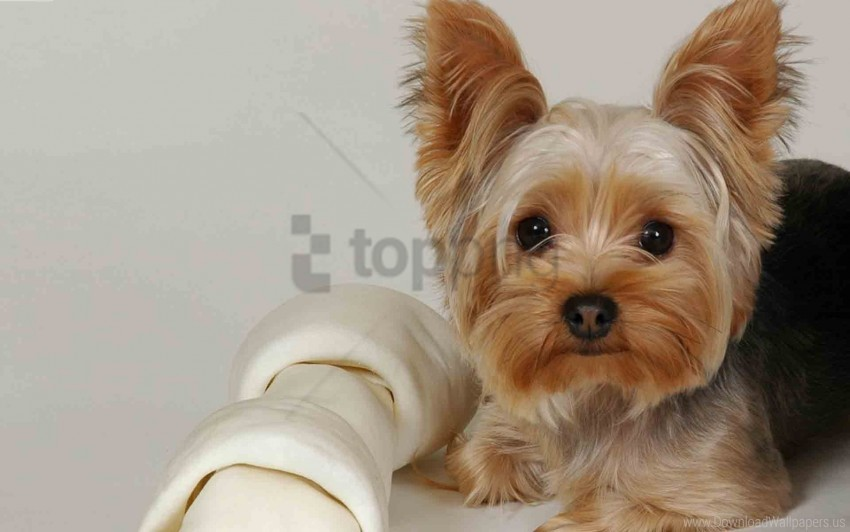 free PNG beautiful, dog, fabric, face, lying, yorkshire terrier wallpaper background best stock photos PNG images transparent