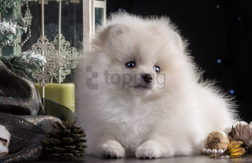 Beautiful Dog Puppy White Wallpaper Background Best Stock Photos Toppng