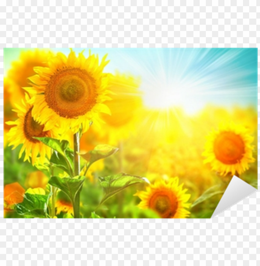 free PNG beautiful sunflower blooming on the field - beautiful sunflower field PNG image with transparent background PNG images transparent