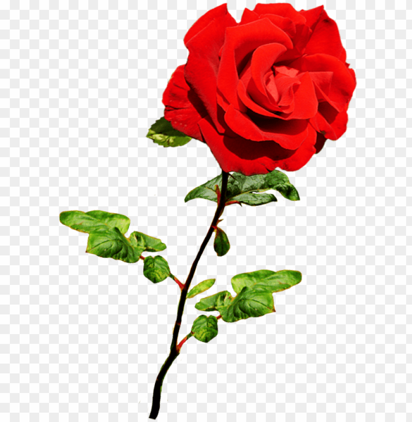 free PNG beautiful valentine rose, valentine red rose on stalk - red rose PNG image with transparent background PNG images transparent